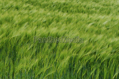 wind in the field