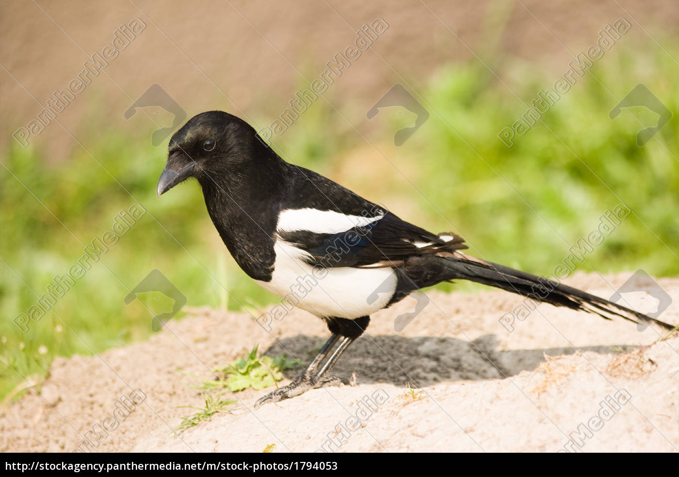 common, magpie, or, european, magpie, - 1794053