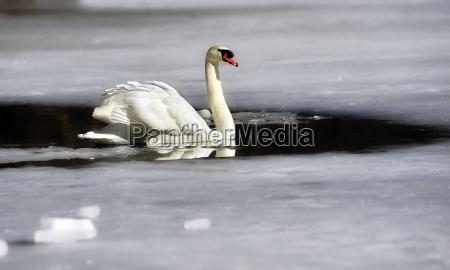 schwan im winter