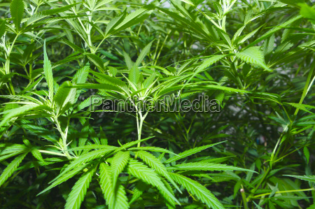 many plants of marihuana