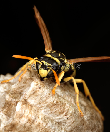 macro of a wasp in the
