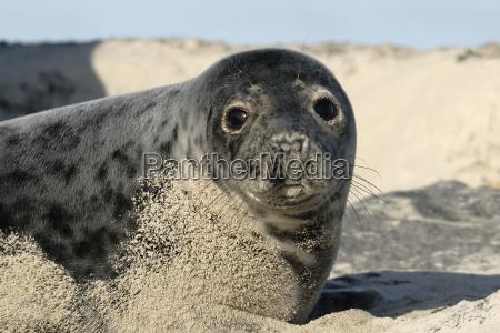 young gray seal 1
