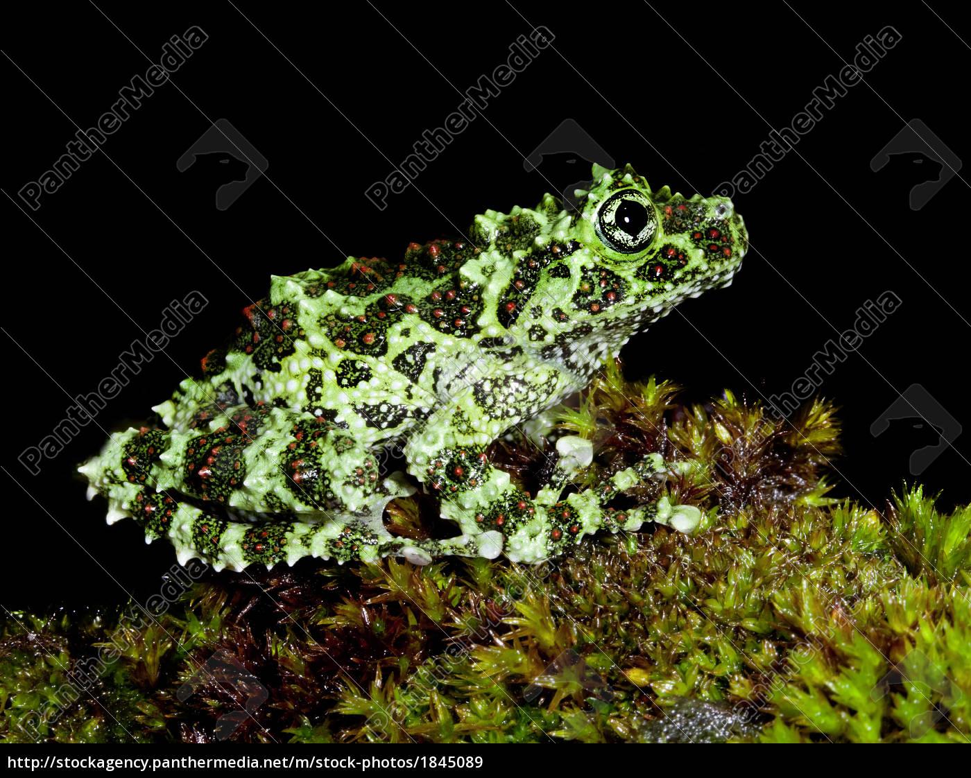 Stock Photo 1845089 - moss frog