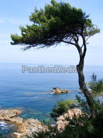 pine on the mediterranean