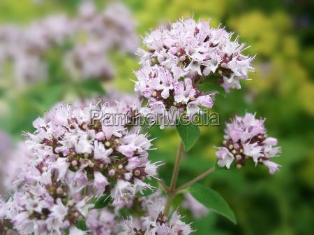 oregano flower
