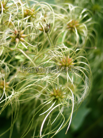 clematis fruit stand