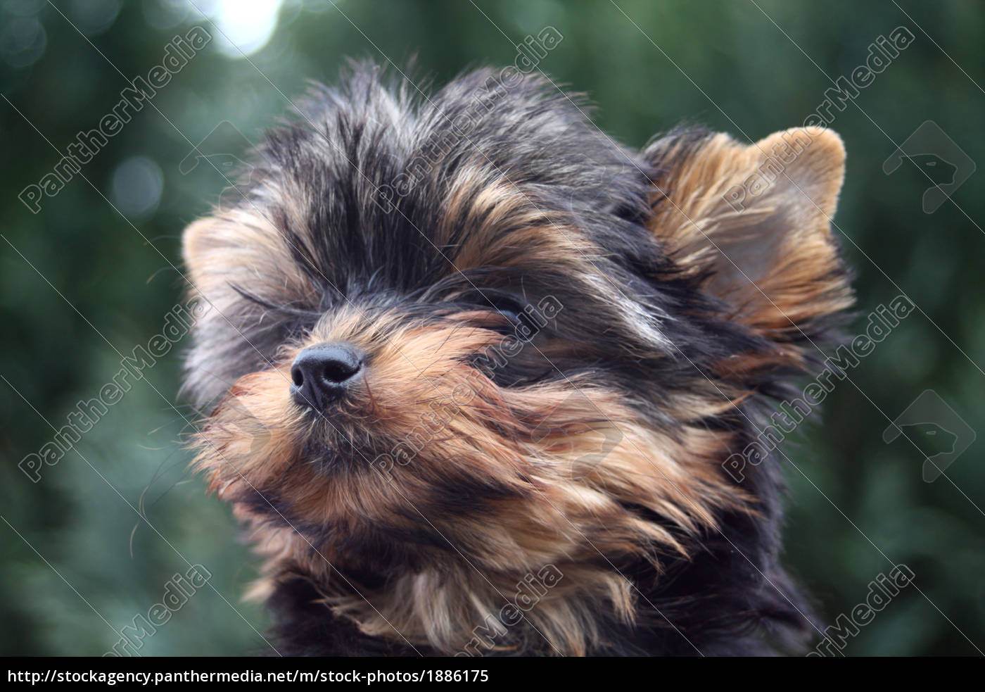 Yorkie Puppy Royalty Free Image 1886175 Panthermedia Stock Agency