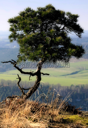 pine at the summit