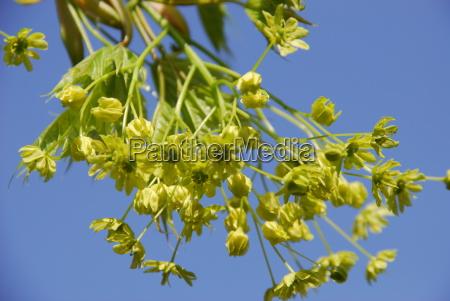maple blossom acer platanoides