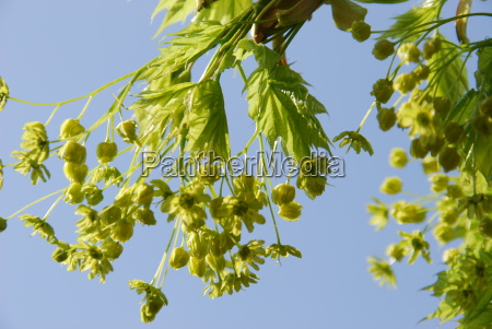 spotted acacia acer platanoides
