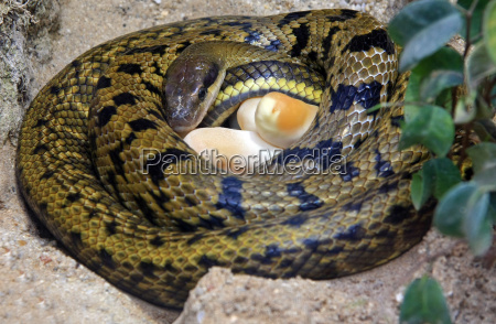 stripes tail snake with eggs in