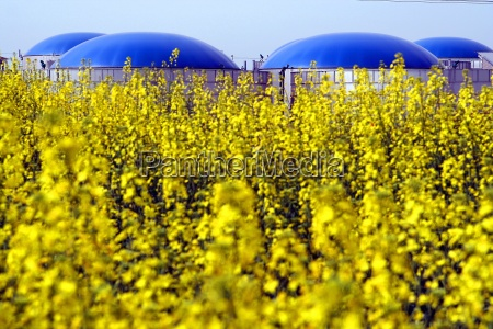 rape and biogas