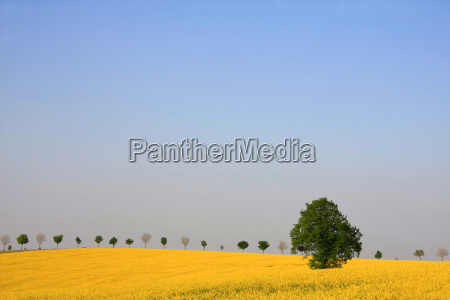 linde in rape field