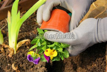 planting pansies planting pansy 01