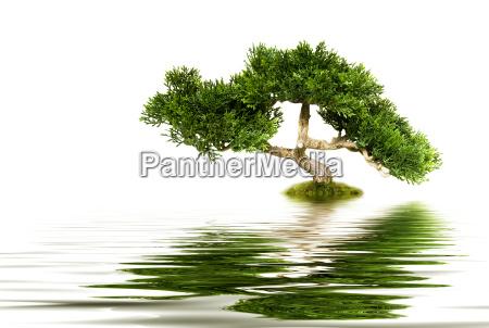 bonsai tree reflecting in water