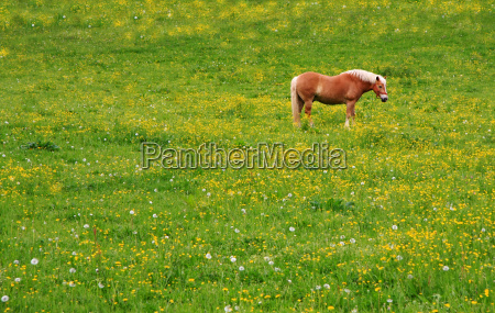 haflinger on flower meadow