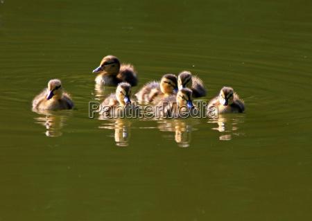 animals duck mallard salt water sea