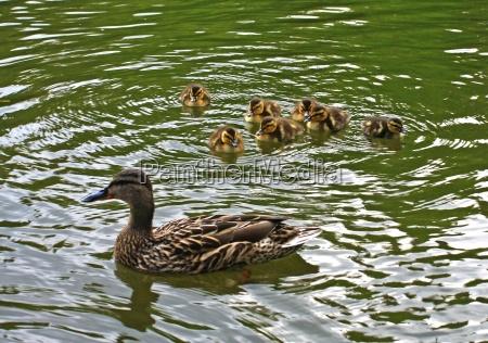 duck junior