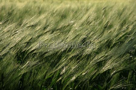 grain in the wind