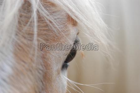pferdeauge frontal