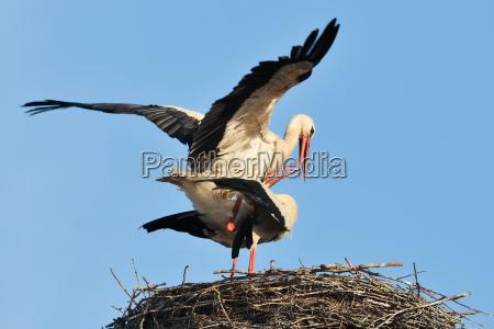 storks mating