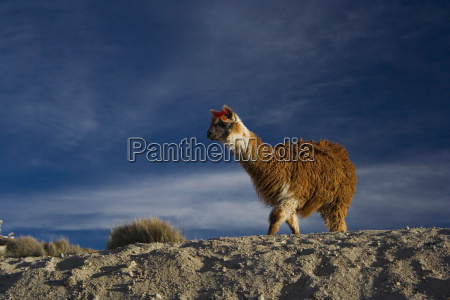 alpaca in the lauca national park