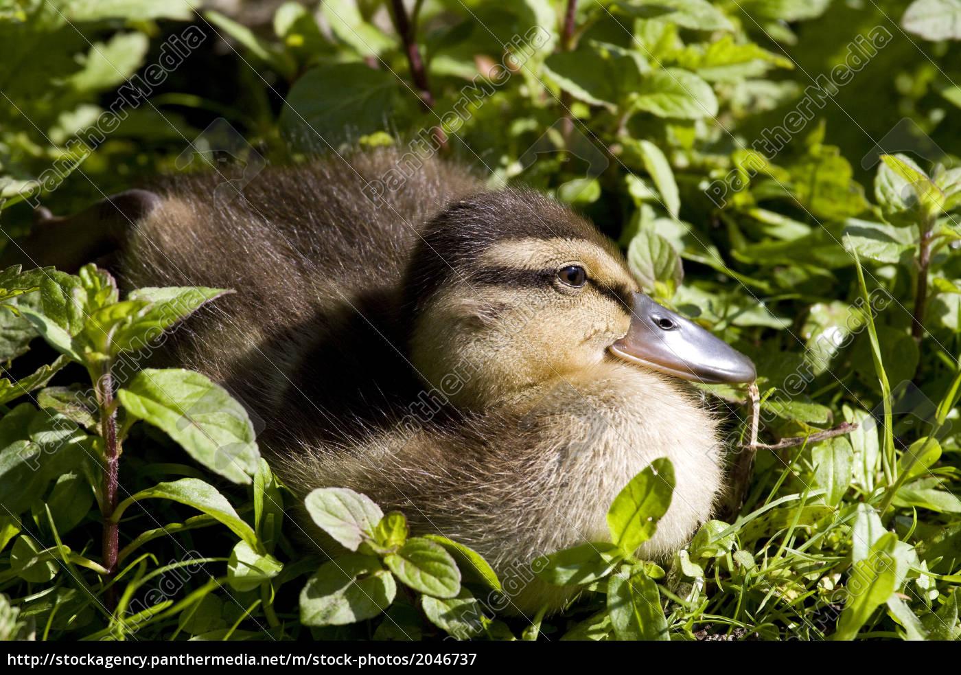 little, ducklings - 2046737