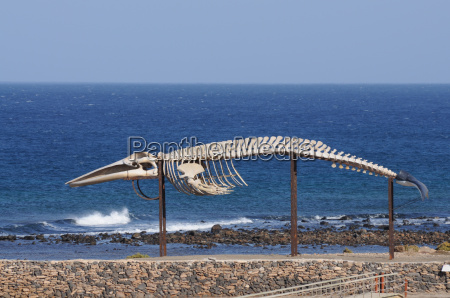 whale skeleton in fuerteventura