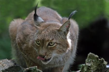 animal tongue big cat feline predator