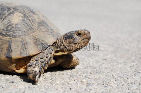 greek land turtle