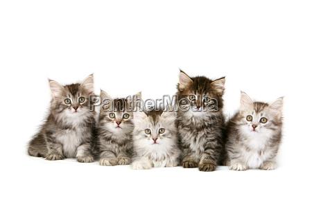 siberian kittens in a row