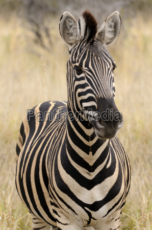 portrait of a zebra africa