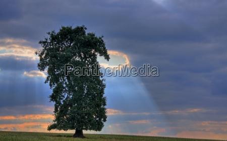 oak in the glow