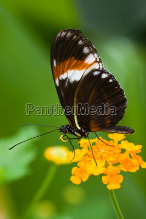 heliconius tropical butterfly