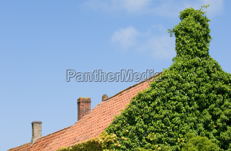 ivy on the gable