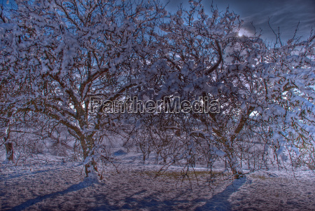 wintry landscape trees with snow