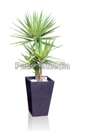 tropical house plant yucca
