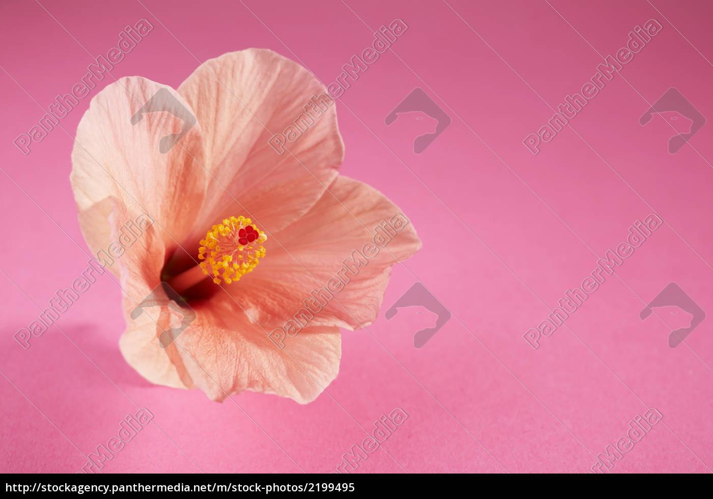 chinese, hibiscus - 2199495