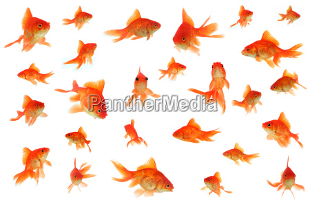 Tail, Animal, cute, swimming, fish, orange - 2200327