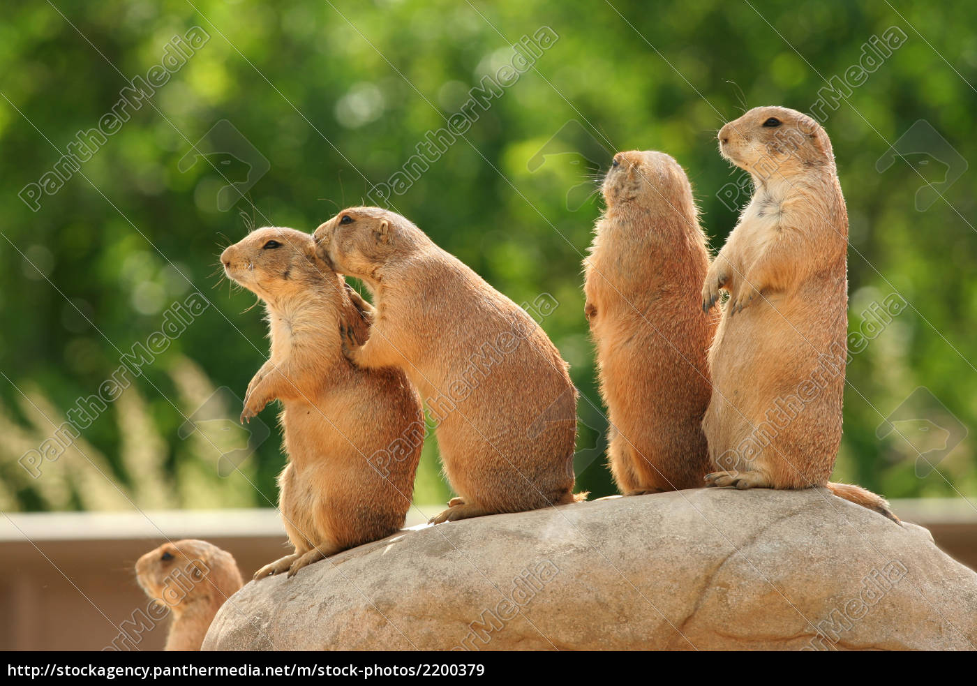 prairie, dogs, on, rock - 2200379