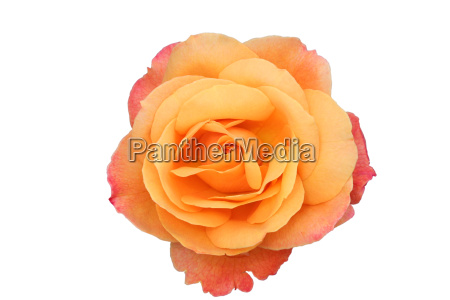beautiful, isolated, orange, and, pink, rose - 2201425