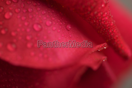 macro, red, rose, blossom - 2201003