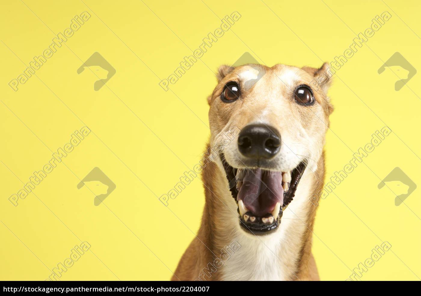 portrait, of, pet, greyhound - 2204007