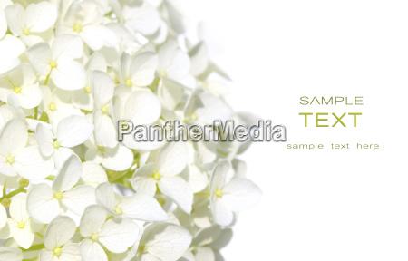 white hydranga flowers