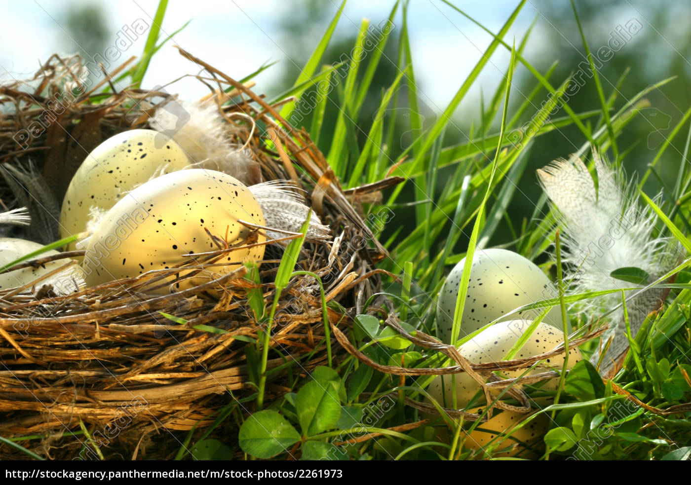 nest, in, the, grass, with, eggs - 2261973