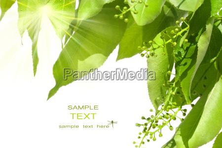 summer green leaves with sun peeking