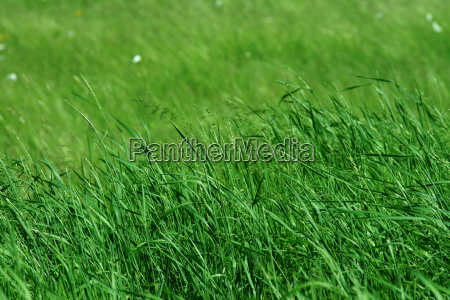 tall green grass in pasture