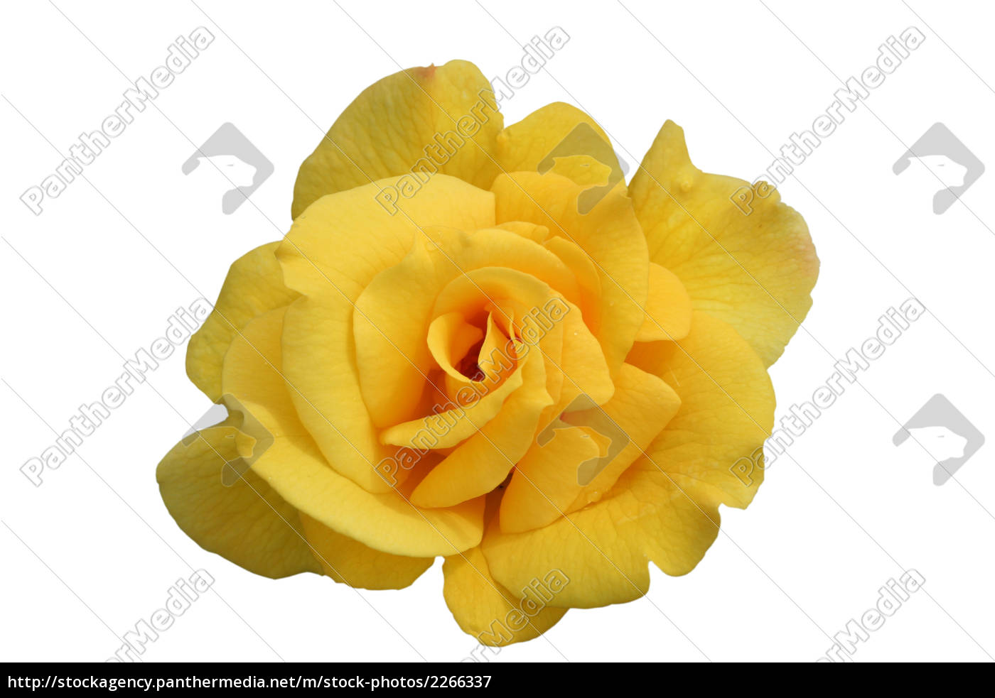 single, yellow, rose, bloom, isolated - 2266337