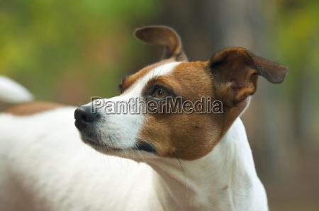 majestic, jack, russell, terrier, dog, portrait - 2278469