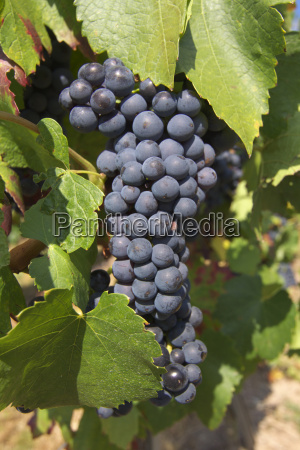 vines vine grape vine grape vine